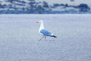 White bird walking on the sand photo