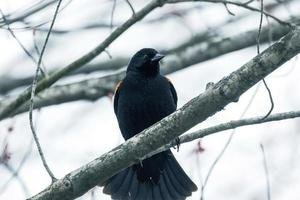 Black bird perched on a branch photo