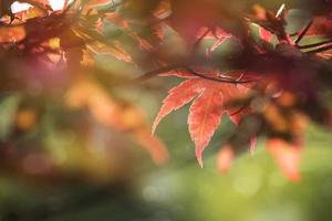 Close up photo of a maple leaf that turned red in autumn season