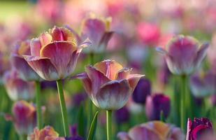 flores de tulipán en el jardín foto