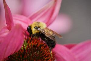 Close-up of a bee on beautiful pink flower pollen photo