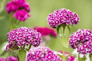 Pequeñas flores violetas iberis umbellate en verano en un jardín. foto