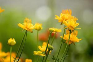 Calendula flowers, meadow botany background photo