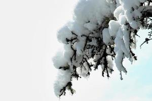 Snow on the branches in winter photo