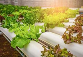 Green hydroponic organic salad vegetable in farm photo