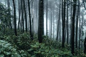 dark forest during a foggy,forest pine in asia photo