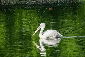 pelícano blanco flotando en la superficie del agua verde foto