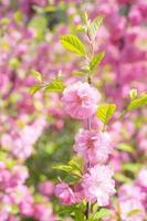 Macro photo of nature pink sakura flowers.
