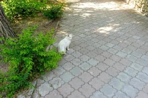 Portrait of a white cat on the sidewalk. photo