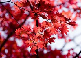 Autumnal ornament, red leaves of maple photo