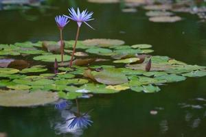 purple flowers lilies above the surface photo