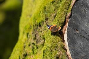 Almirante mariposa en un árbol cubierto de musgo verde. foto