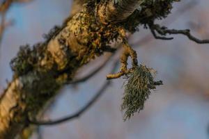 Rama de árbol seco con musgo verde sobre un fondo borroso foto