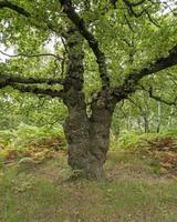 Antiguo roble en un bosque en verano foto