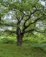 roble antiguo con follaje verde de verano foto