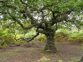 Roble con ramas extendidas follaje verde de verano foto