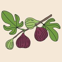 Doodle freehand sketch drawing of fig fruit. vector