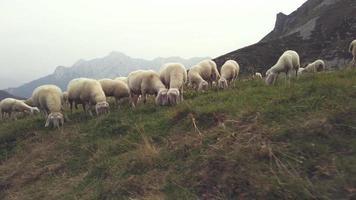 gregge di pecore al pascolo video