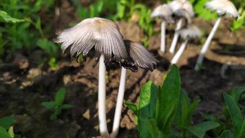 Mushrooms close-up. Toadstool mushrooms in the garden photo