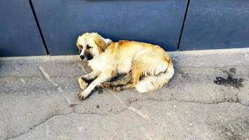 A stray dog lies near a city building. Large dog resting photo