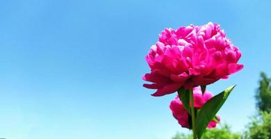 Peony flower on a background of blue sky and summer sun photo