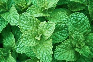 fondo de hoja de menta verde fresca foto