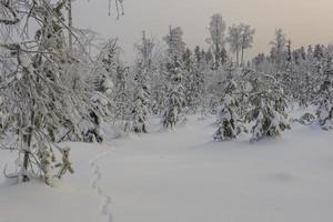 bosque nevado con un rastro de un zorro en la nieve foto