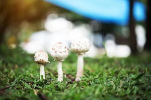 Puffball mushrooms growing on green grass photo