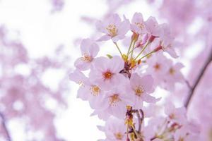 Pink cherry blossom sakura, low clarity photo