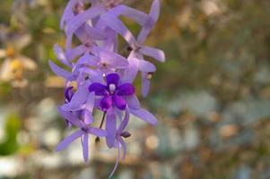 Close up the flower of Purple Wreath, Sandpaper Vine photo