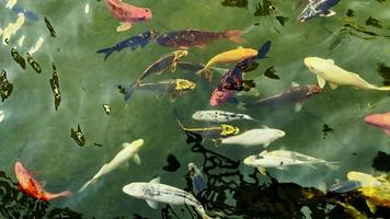 Colorful Fishes in a Lake Water video