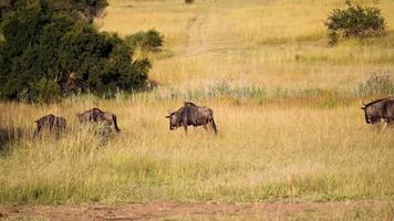 The Wilderbees were active in the vast grasslands video