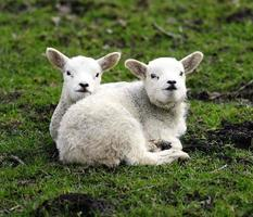 Twin lambs having a cuddle photo