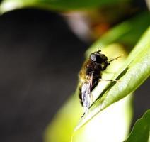 Sun bathing Dronefly photo