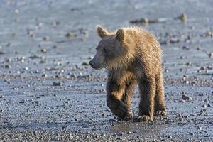 Young Grizzly Bear on a Coastal Estuary photo