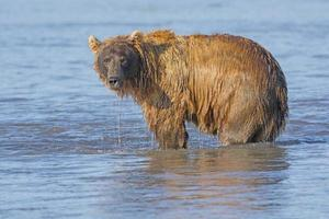 Grizzly Dripping from Fishing in the Water photo