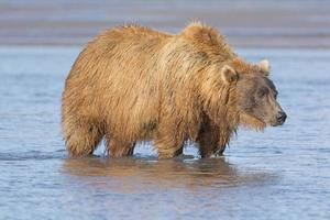 Grizzly Looking for Salmon in Estuary photo