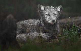 Arctic fox in grass photo