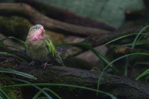 Princess parrot on branch photo