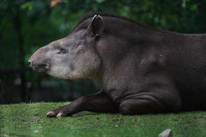 South American tapir photo