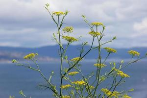 Fennel flowers with the sea out of focus photo
