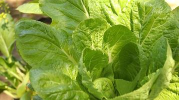 vegetales verdes. hermosa lechuga verde en finca hidropónica. foto