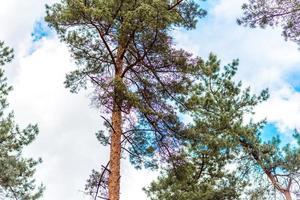 hermoso bosque con altos pinos en las afueras de la ciudad foto