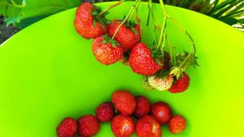The strawberries are collected in a green bowl. Harvesting berries photo