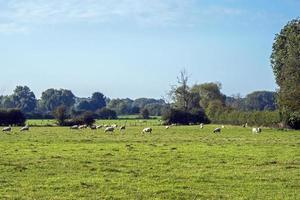 Green field with grazing sheep near York, England photo