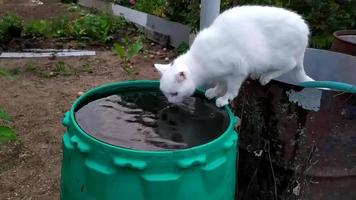 A white cat drinks water from a green barrel in the garden. video