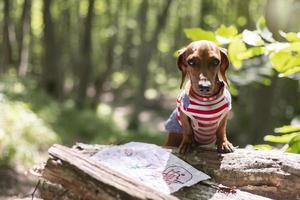 Adorable dog treasure hunt forest photo