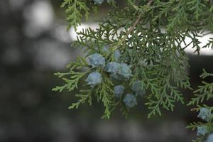 hojas verdes y semillas de thuja tree foto