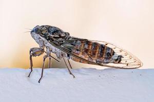 Cicada insect. Cicada closeup on a white wall. Cicada macro photography. photo
