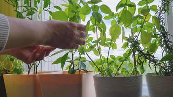 Woman takes care of houseplants in pots. Home life, sustainable hobby. Eco-friendly lifestyle. video